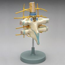 Altay Human Vertebrae Spinal Cord Dissection Model