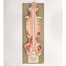 Somso Human Nervous System Model