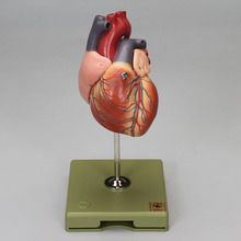 Somso 2-Part Human Heart Model
