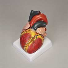 Altay® Giant Heart Model, 4 Parts