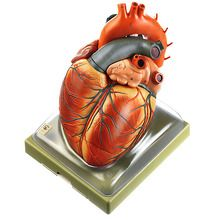 Somso® Mammal Heart Model