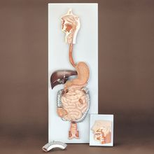 Altay Human Digestive System Model