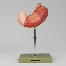 Somso® Human Stomach Model