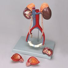 Altay Human Male Urinary System Model