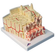 3B Bone Microanatomy Model