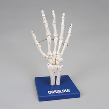 Carolina® Human Skeletal Hand Model