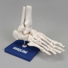 Carolina® Human Skeletal Foot Model