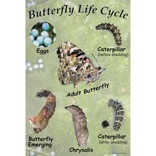 Painted Lady Butterfly Life Cycle Chart