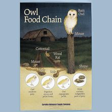 Owl Food Chain Poster