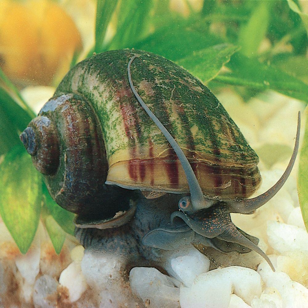 Mystery Snail Living Pack Of 3 Carolina