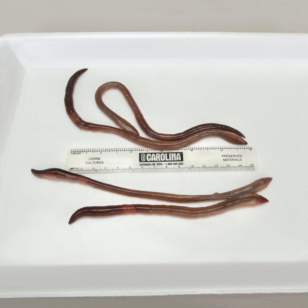 Earthworms, (Lumbricus terrestris), Living, Large, Pack of 12 ...