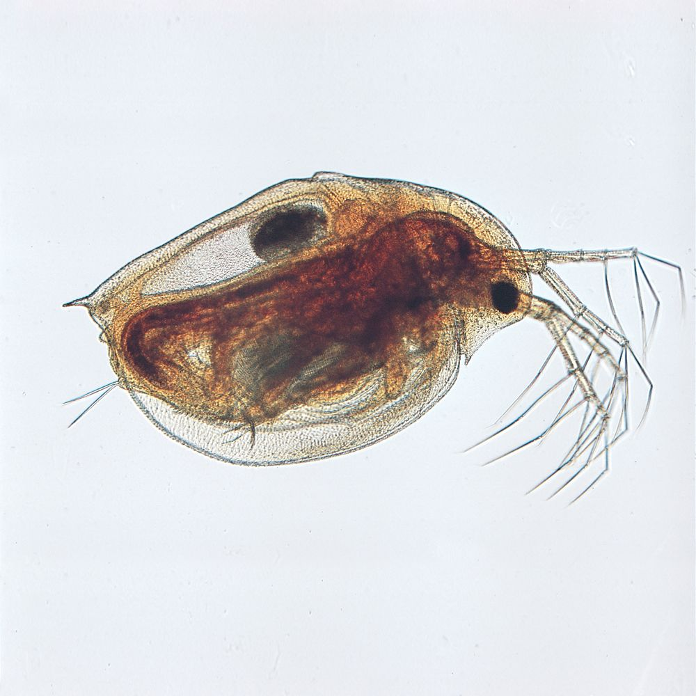 Observe changes in daphnia