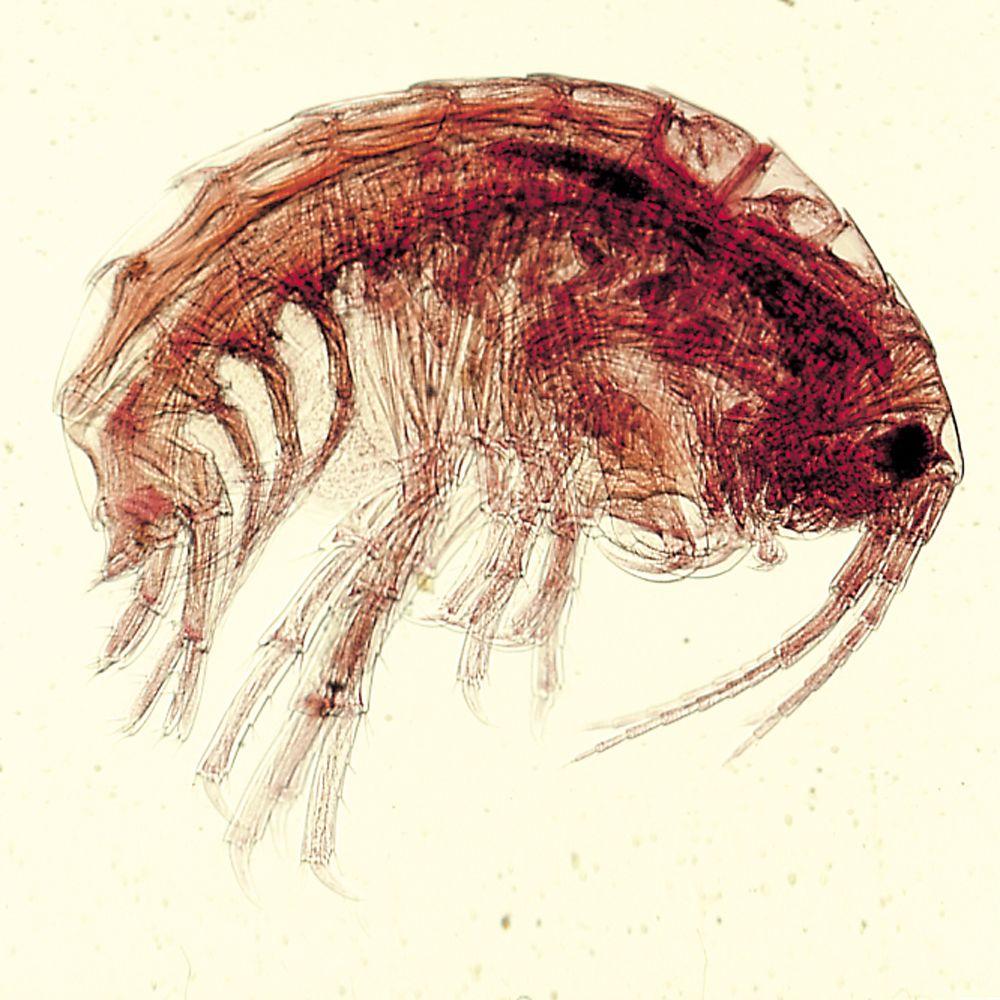 amphipods gammarus living carolina com