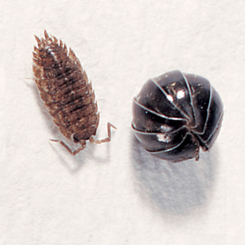 Pill Bugs/Sow Bugs, Living, Species Vary, Pack 12 | Carolina.com