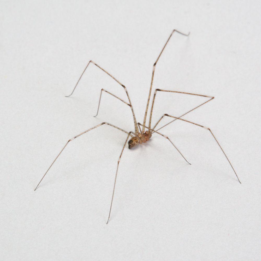 Cellar Spiders, Living, Pack of 12 | Carolina.com