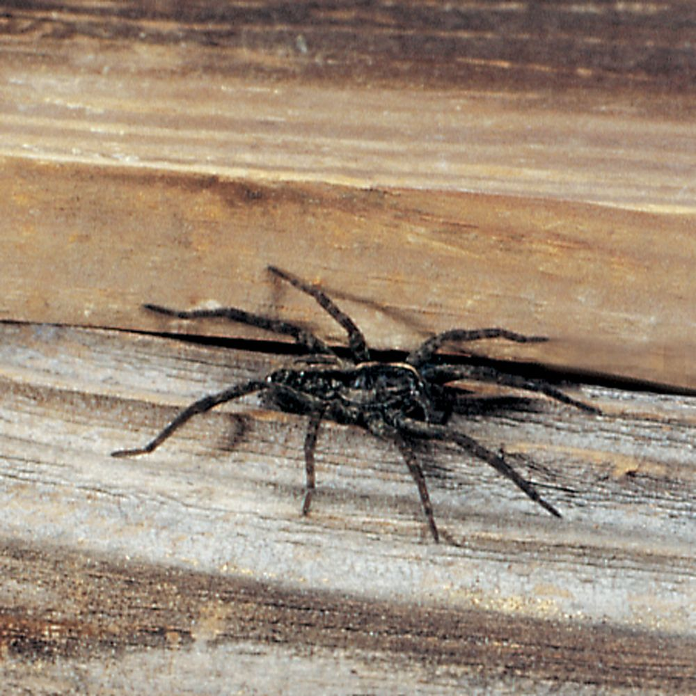 Wolf Spiders, Living, Pack of 6 | Carolina.com