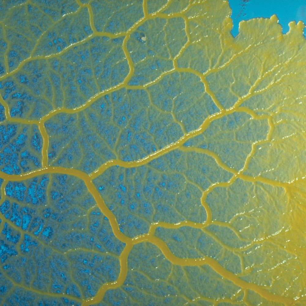 physarum lab Physarum polycephalum grows in agar in the laboratory this bright-yellow slime  mold can form a giant cell as big as a square meter in area,.
