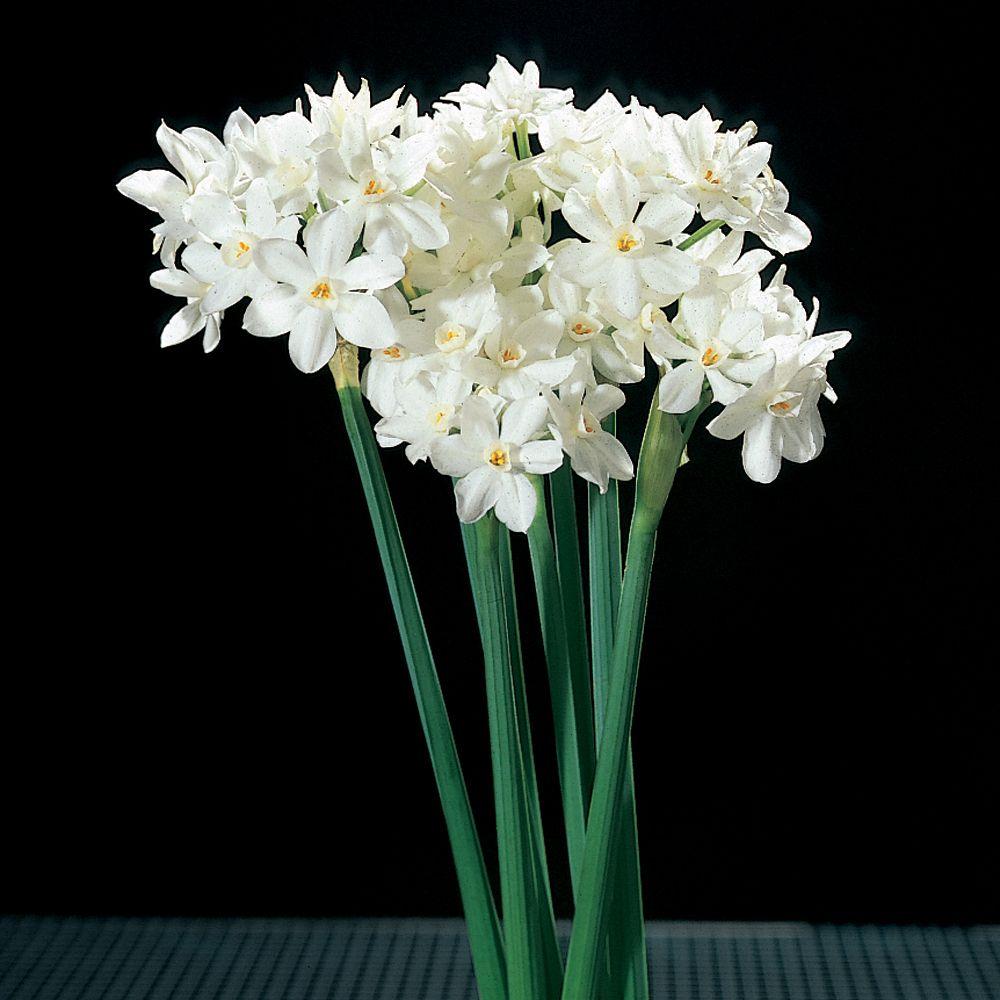 Narcissus Paperwhite Bulbs Living Bag Of 10 Carolina