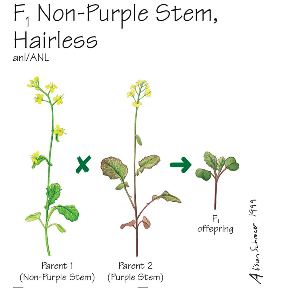 Wisconsin Fast Plants® F<sub>1</sub> Non-Purple Stem, Hairless Seed ...