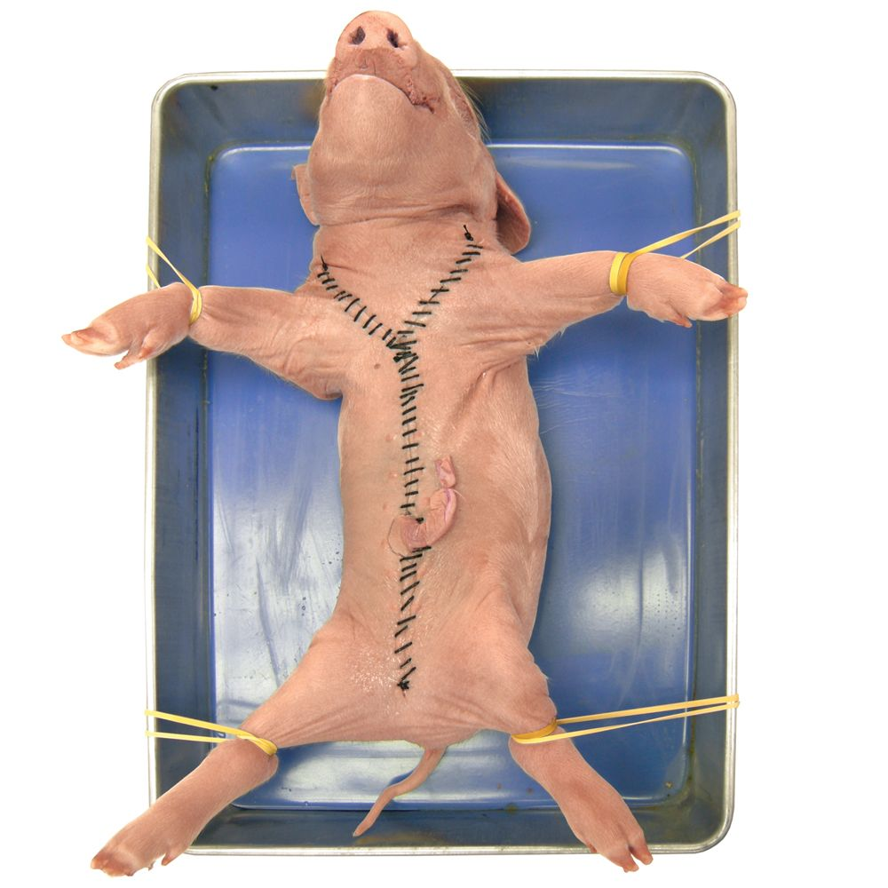 Learn about forensic science while performing a pig dissection