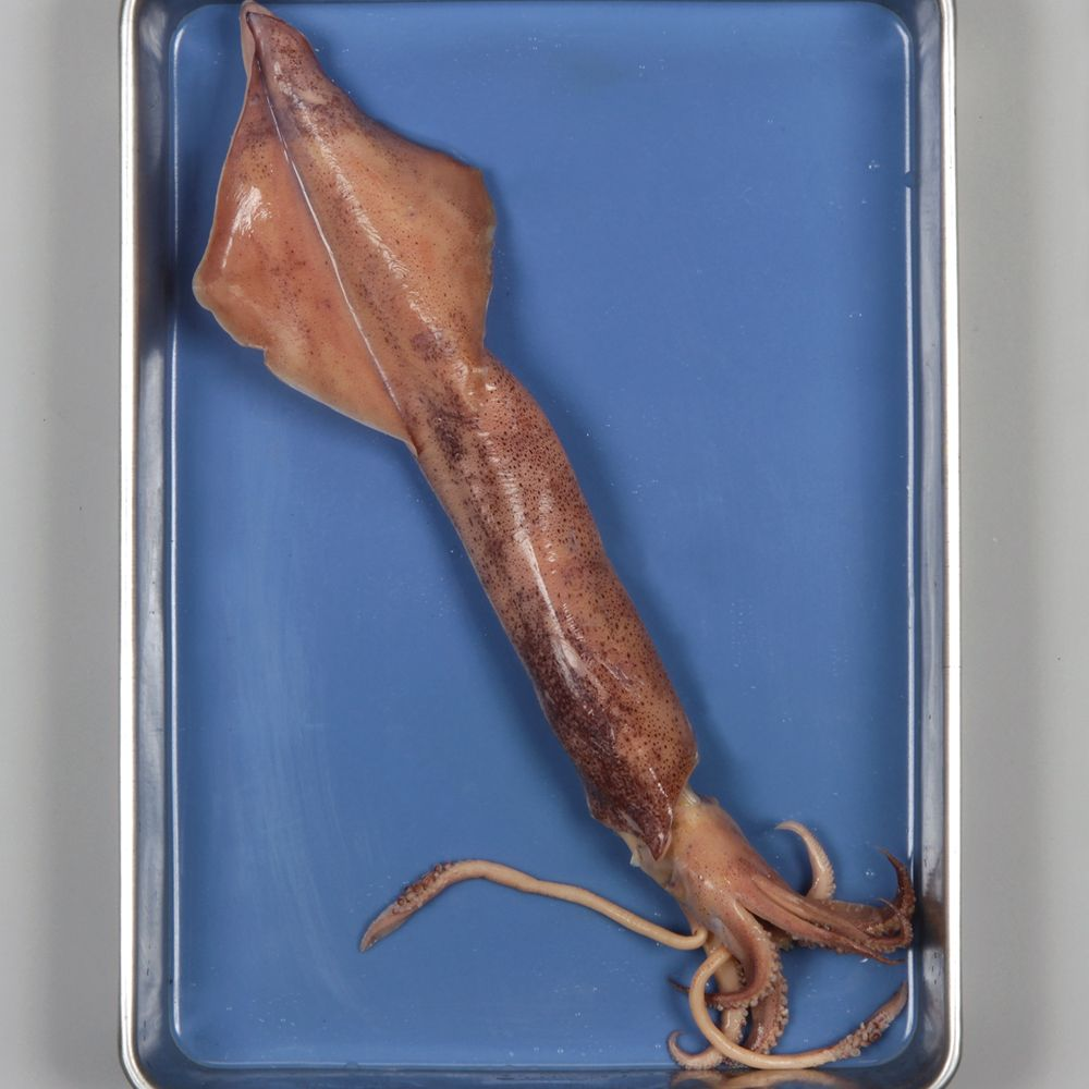 Squid for dissection