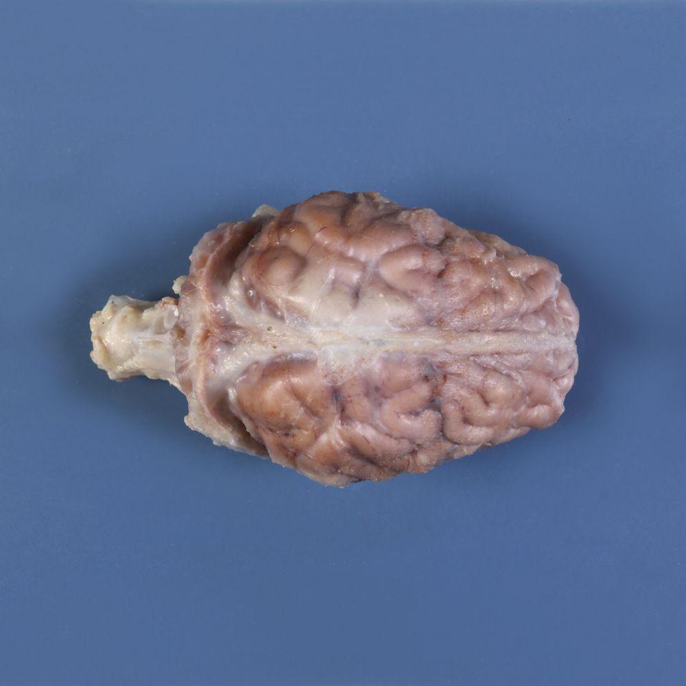 Formalin Pig Brain, Dura Mater Intact, Plain, Pail   Carolina.com