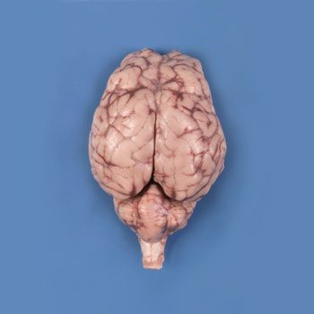 Carolinas Perfect Solution Sheep Brain Dura Mater Removed Optic