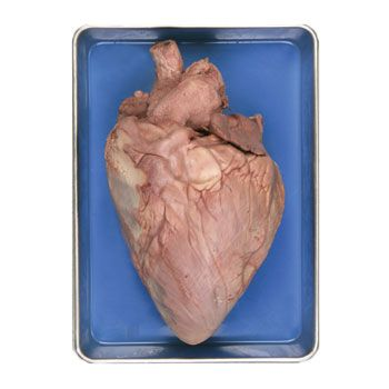 Formalin Cow Heart With Base Of Aorta Attached Large 4 12 Lb