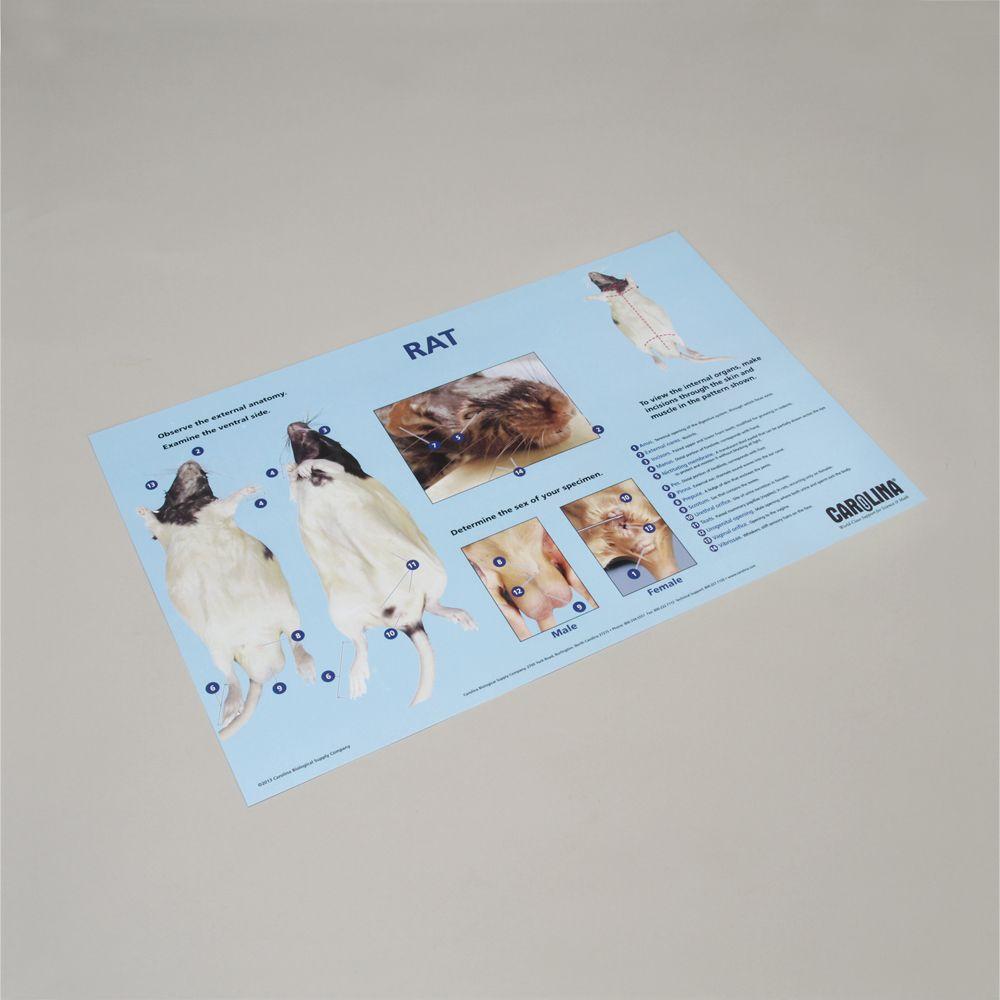 Carolina® Rat Dissection Mat | Carolina.com
