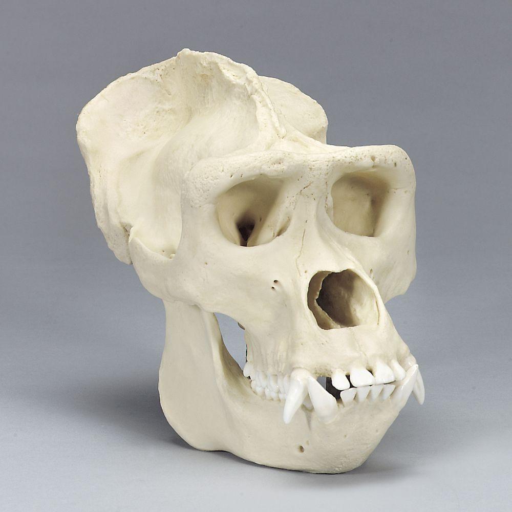 Bone Clones Gorilla Skull, Adult Male | Carolina.com