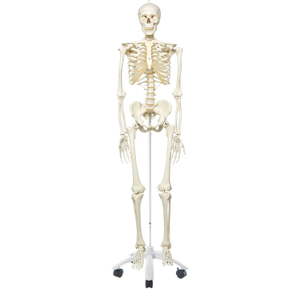 3b human skeleton rod supported carolina com
