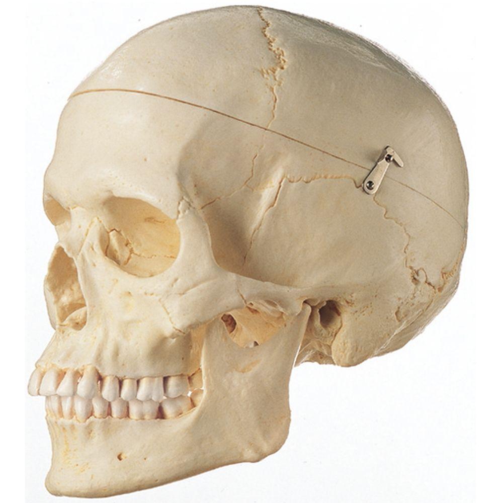 Amazon.com: Human Female Skull Replica: Industrial ...  |Female Human Skull