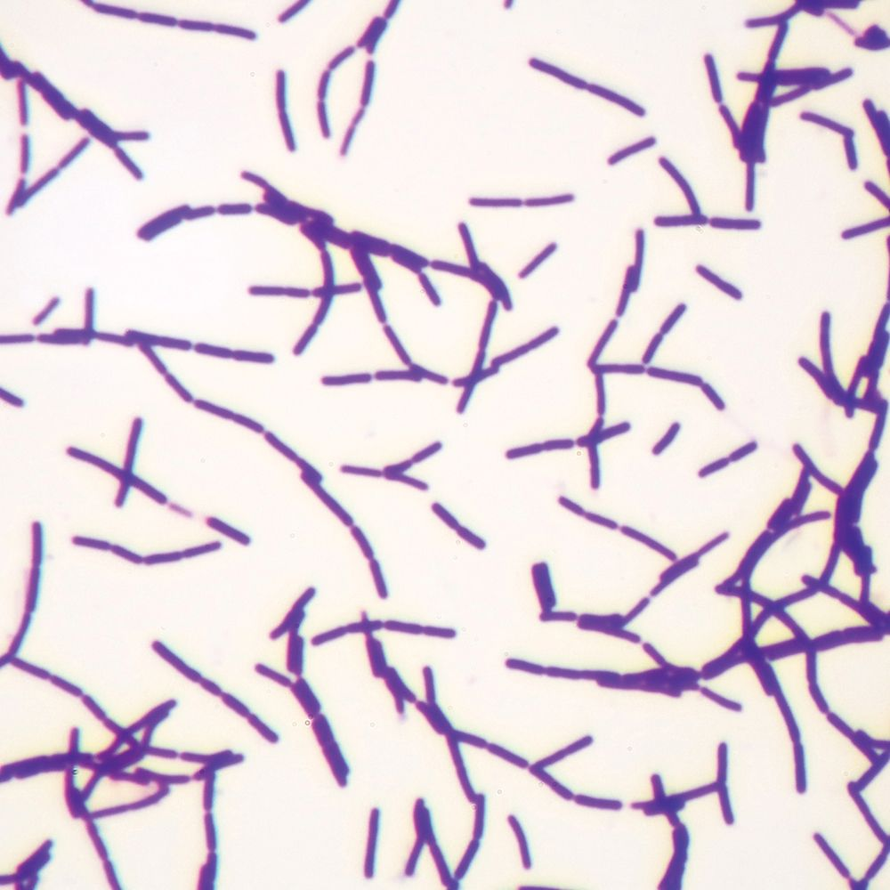 Typical bacillus bacteria microscope slides carolina typical bacillus bacteria microscope slides ccuart Gallery