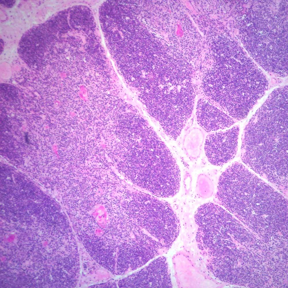 Human Thymus Sec Thin Microscope Slide Carolina