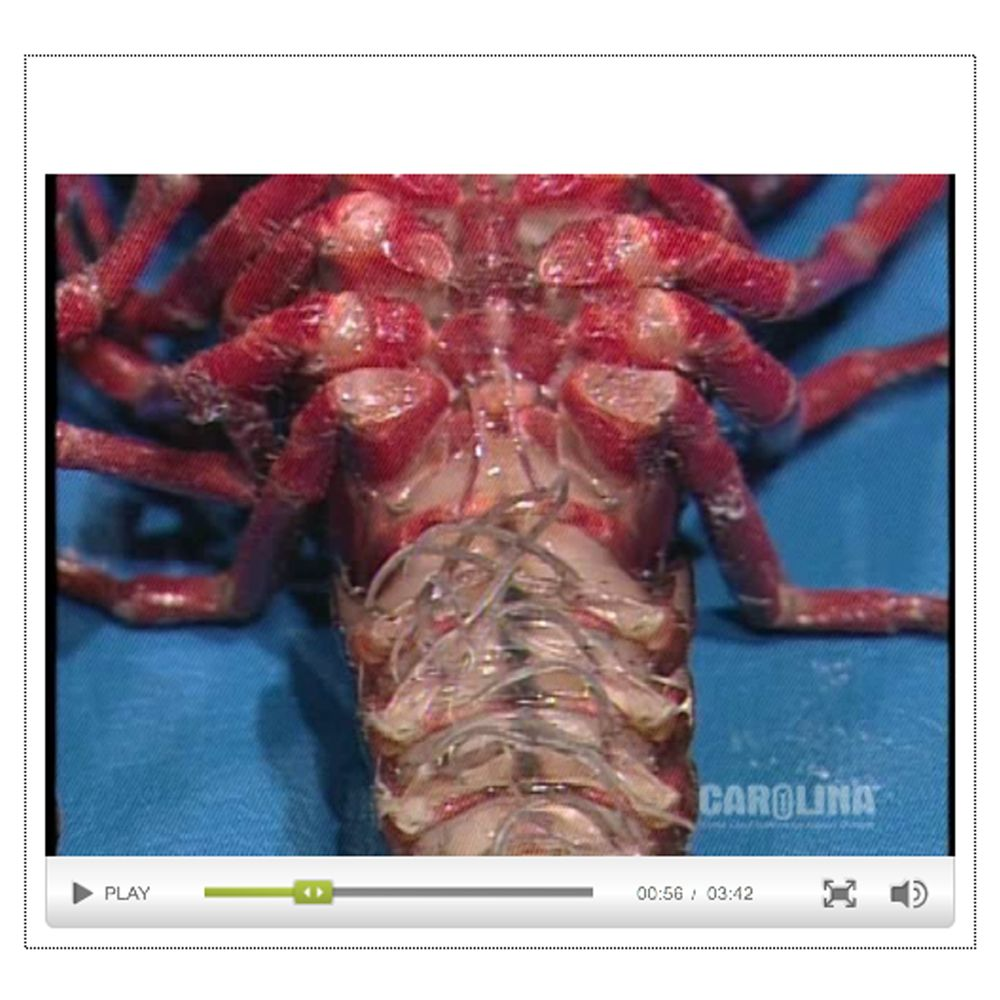 Crayfish Anatomy: Reproductive, Digestive, & Excretory Systems Video ...