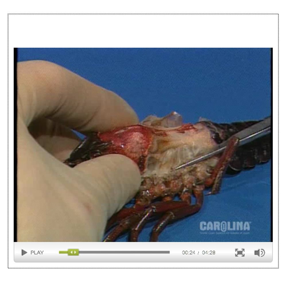 Crayfish Anatomy Internal Anatomy Circulatory Muscular Systems