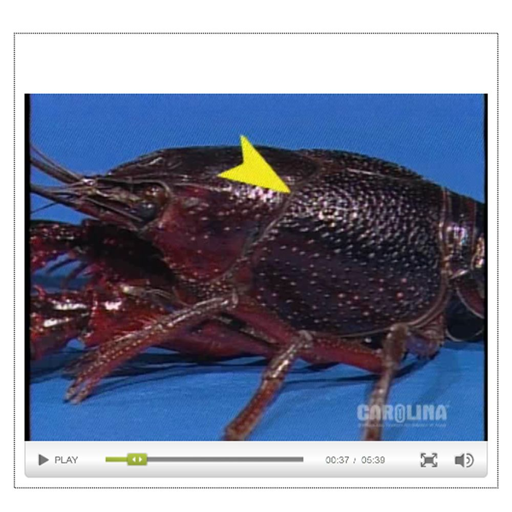 Crayfish Anatomy: External Anatomy & Gills Video | Carolina.com