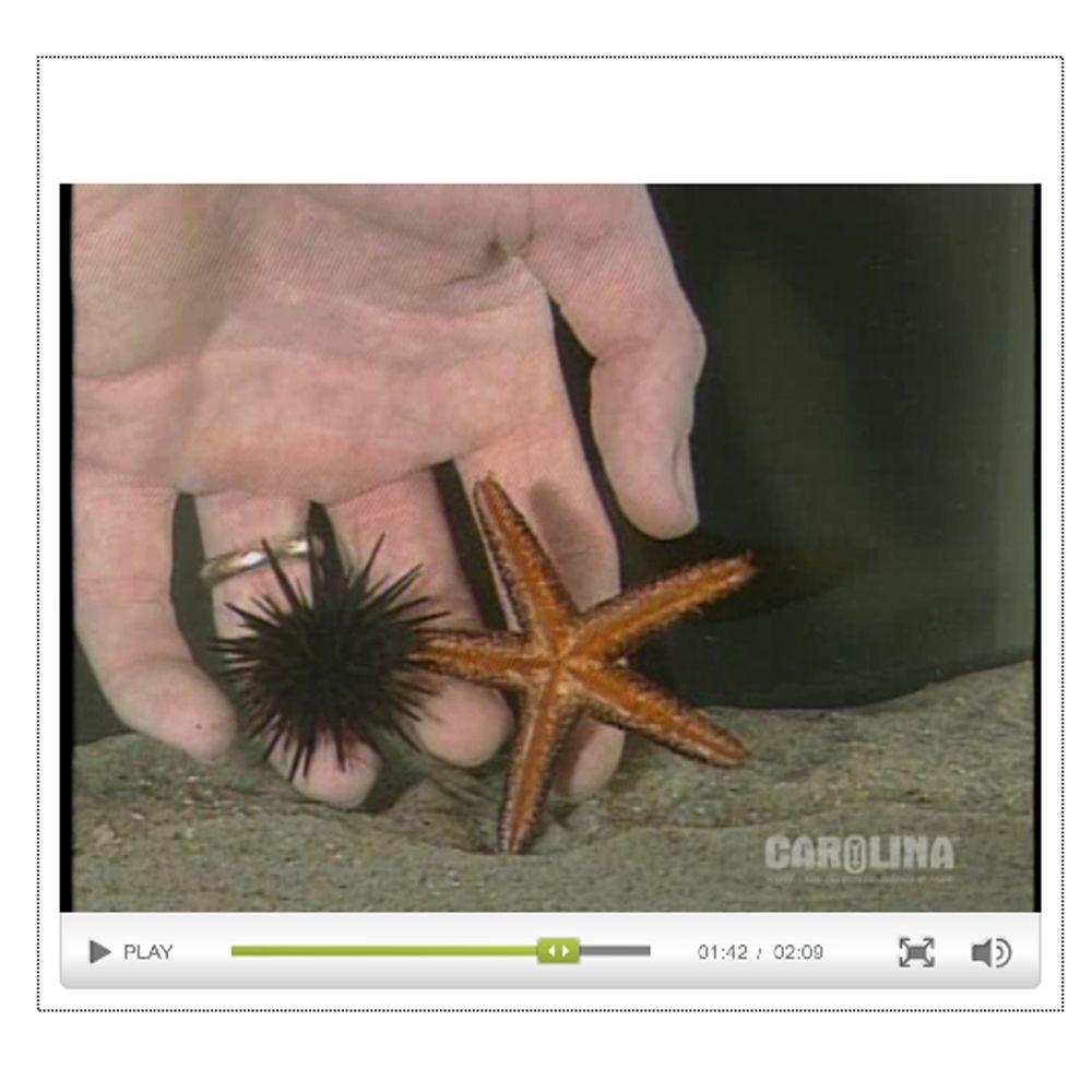 Starfish Anatomy An Introduction To The Phylum Echinodermata Video