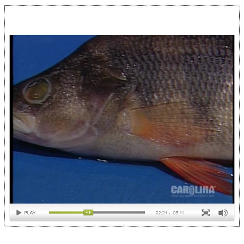Perch Anatomy Videos | Carolina.com