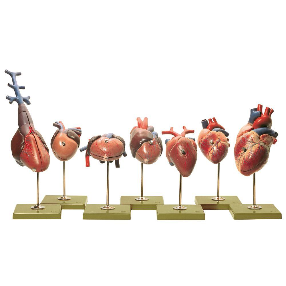 Comparative anatomy of heart