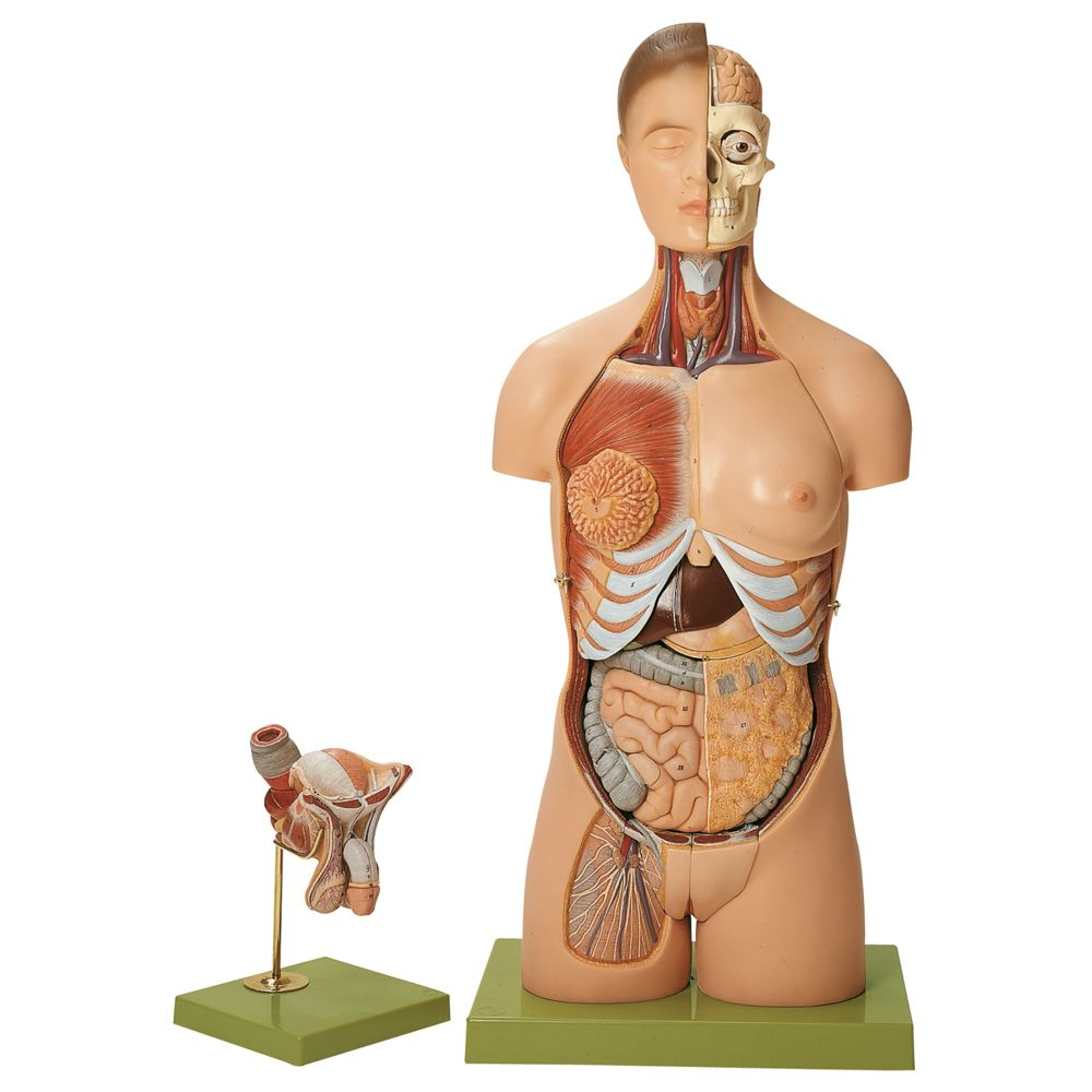 Female Torso Anatomy Diagram Human Torso Anatomy Models Wiring