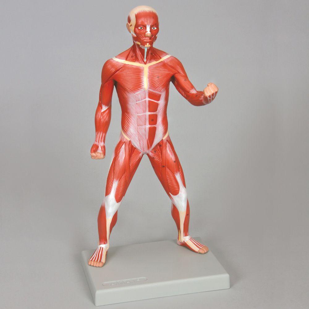 Altay Miniature Human Muscular Figure Carolina