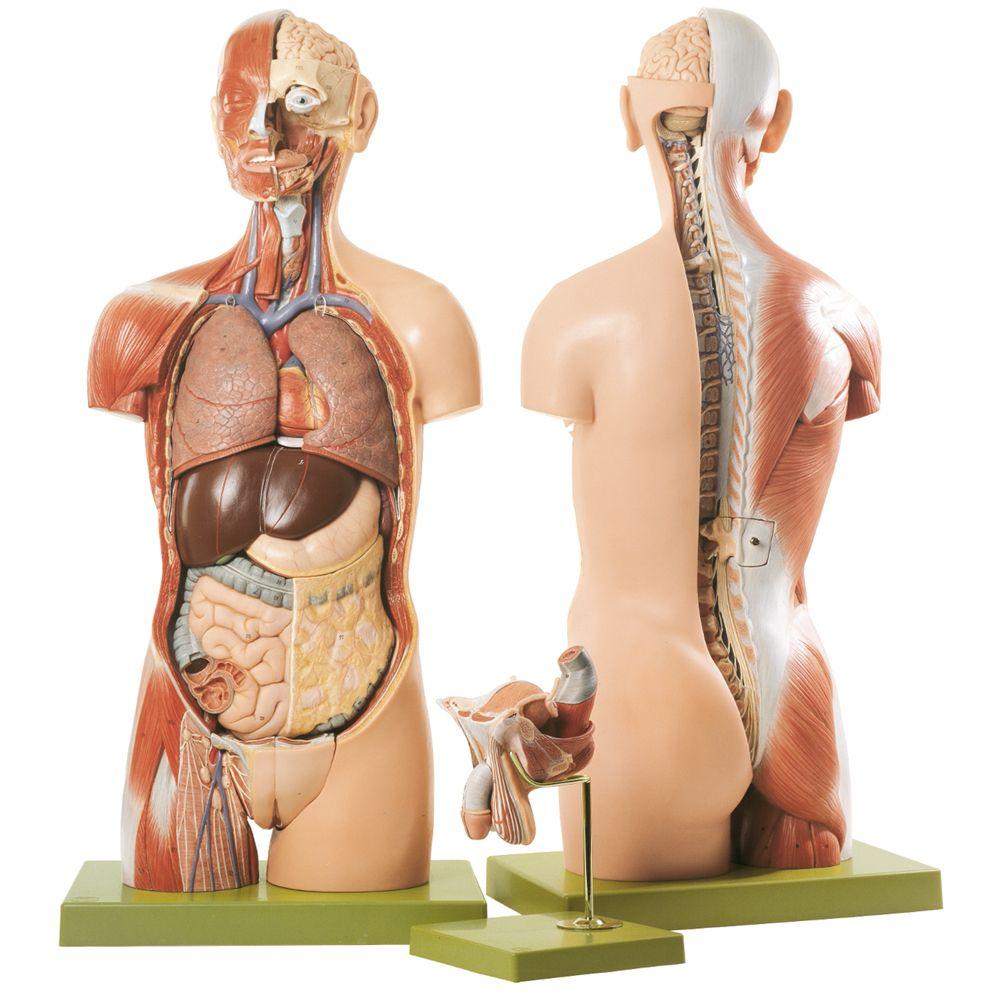 Somso® Human Torso Model with Head and Open Back | Carolina.com