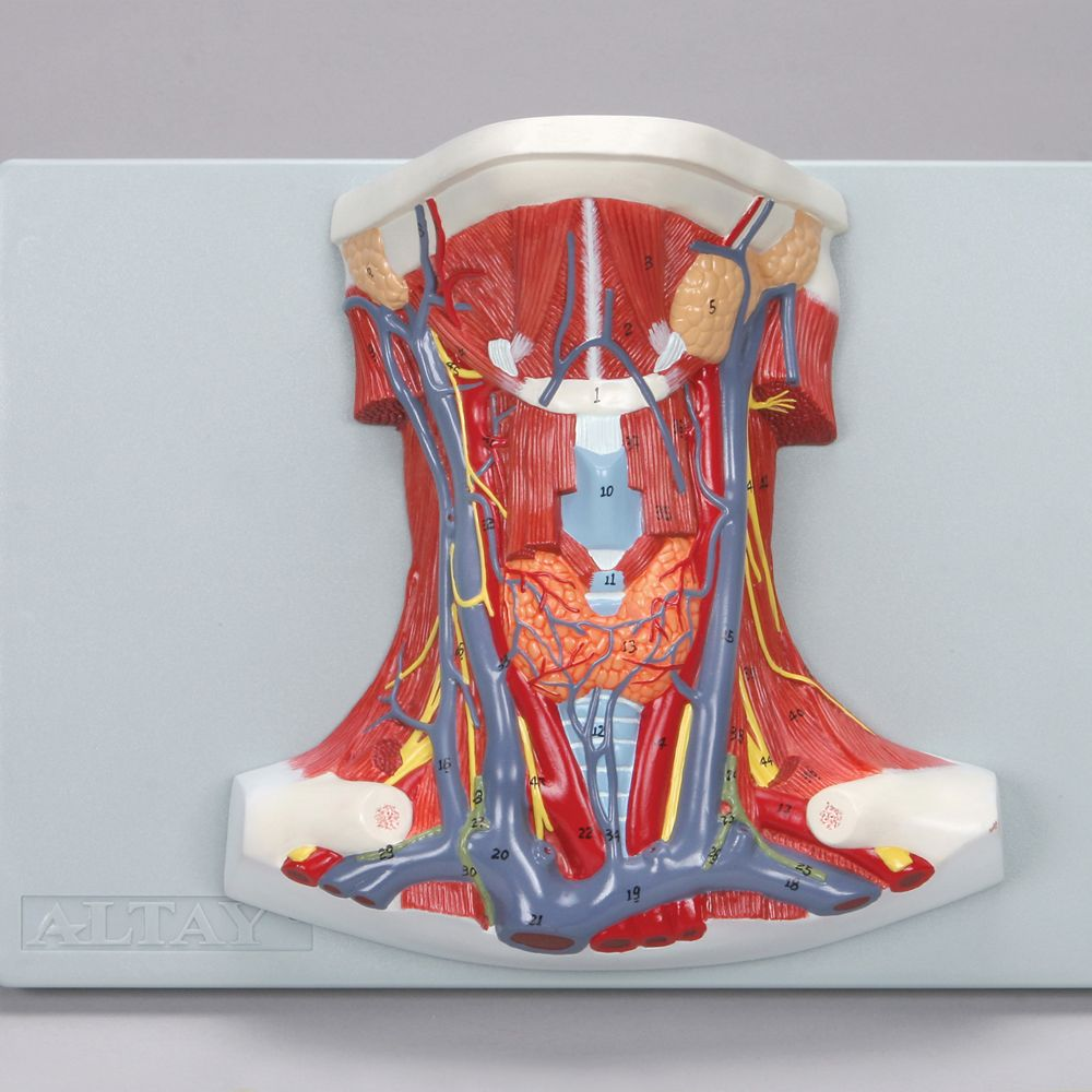 Altay Anatomy of the Human Neck Model   Carolina.com
