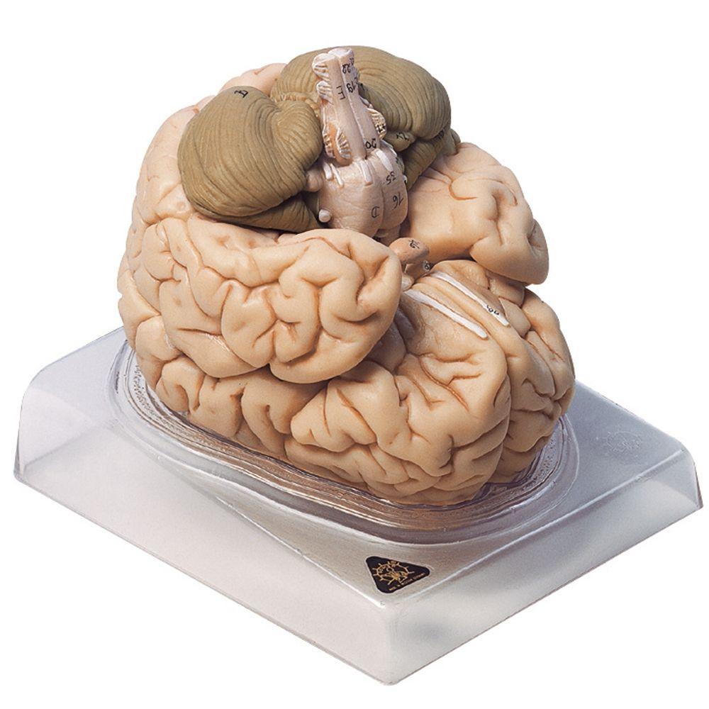 Somso Human Brain Model, 8 Parts | Carolina.com