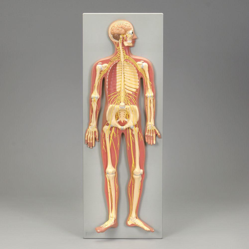 Altay Human Nervous System Model Carolina