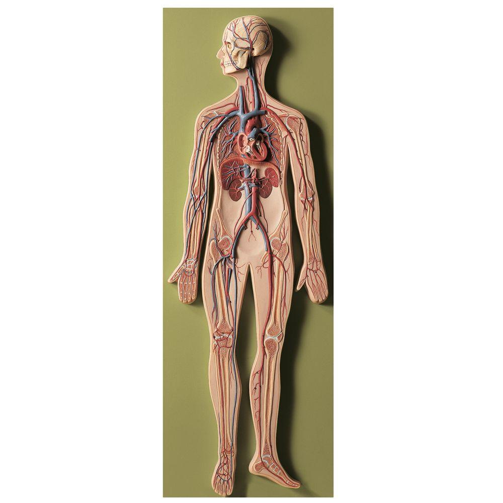 Somso Human Circulatory System Model Carolina