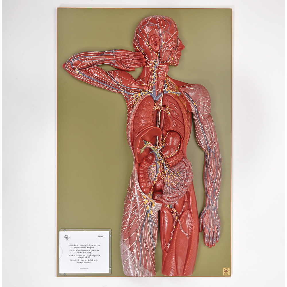Somso Human Lymphatic System Model Carolina