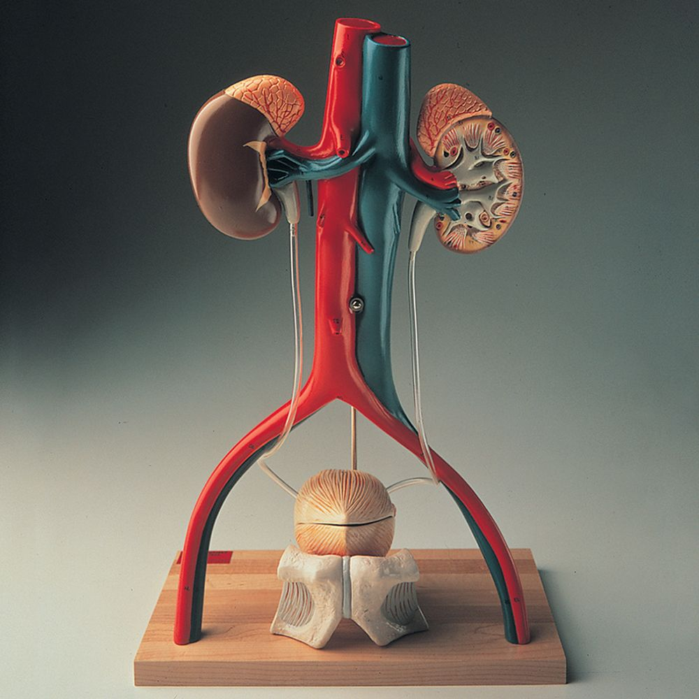 Denoyer Geppert Free Standing Human Urinary System Model Carolina