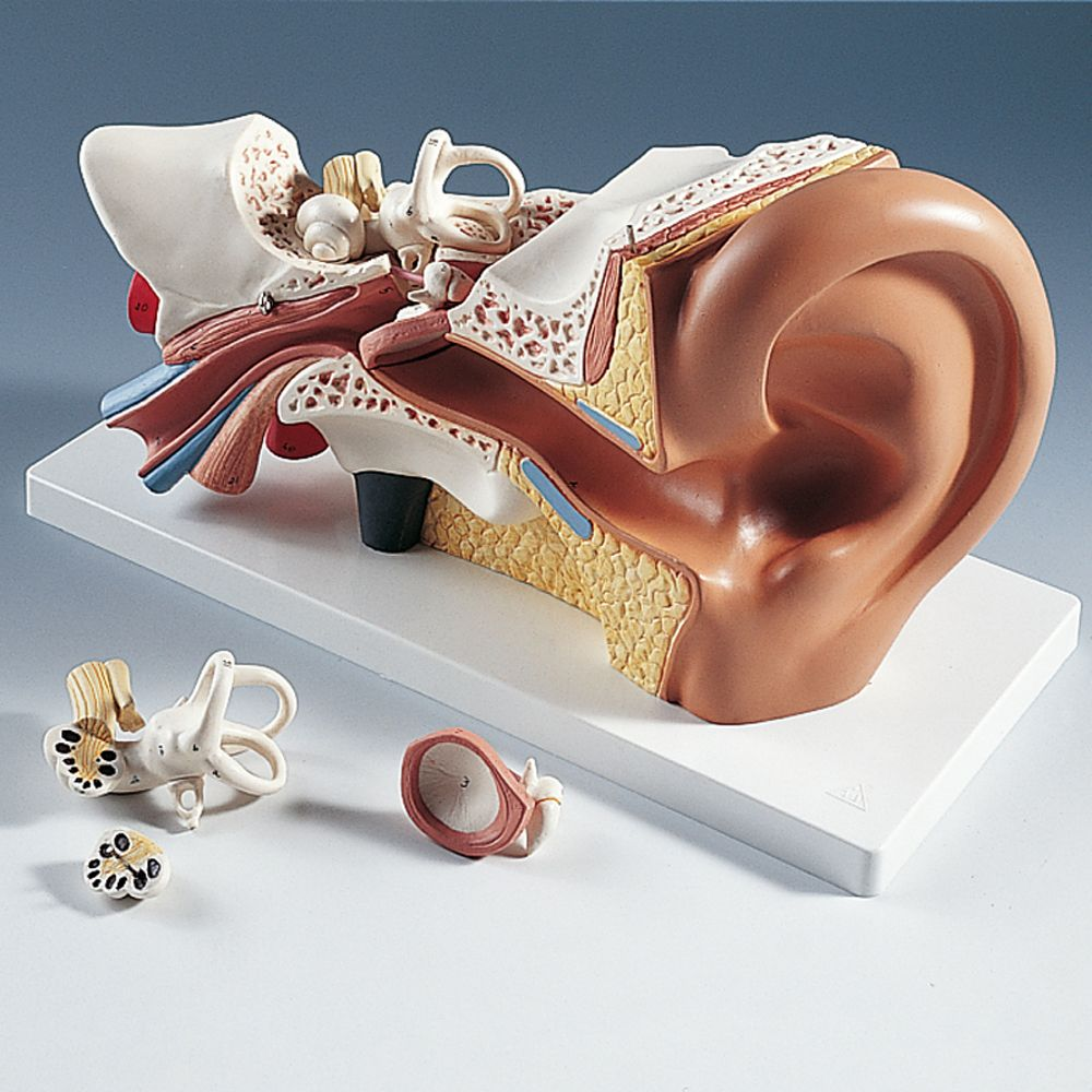 3B Human Ear Model | Carolina.com